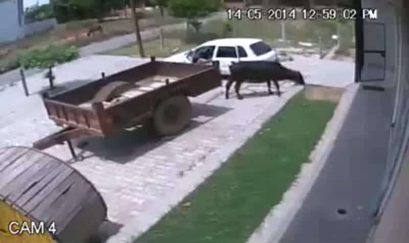 Stealing a cow