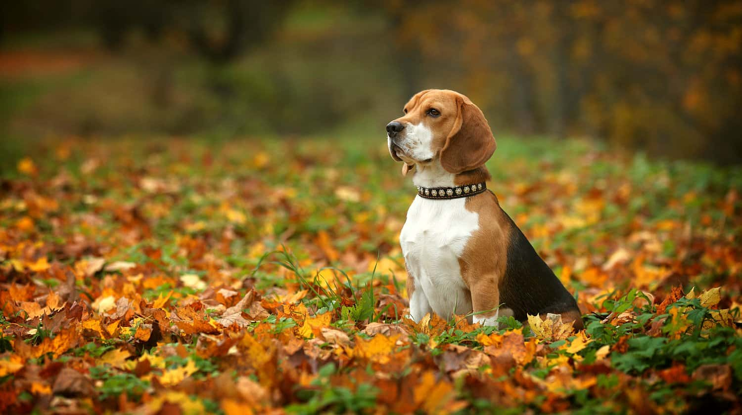 Feature | Beautiful beagle at the park | Best Pet Trackers Available On Amazon
