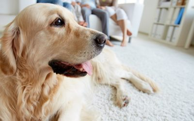 Feature | Dog lying on the floor | Is The Furbo Dog Camera As Smart As They Say It Is?