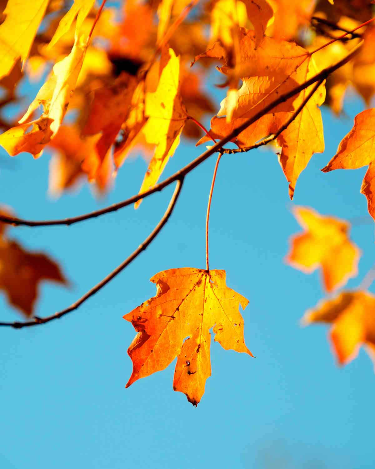 Maple leaf | Take Good Photos This Fall Season With These Photography Basics | photography lighting basics